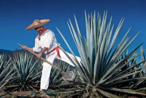 Agave Tequilana con uno Jimador, i coltivatori specializzati