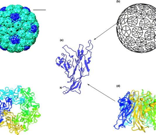 Il papilloma-pseudovirus: possibile ruolo tumoricida nell'intestino